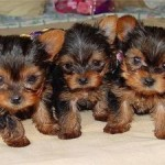 A Word About Yorkie Puppies