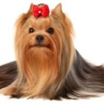 Yorkshire Terrier Care – Grooming Tips