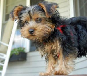 Your Yorkshire Terrier Puppy And Children