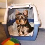 Yorkie Training – Housebreaking your Yorkshire Terrier