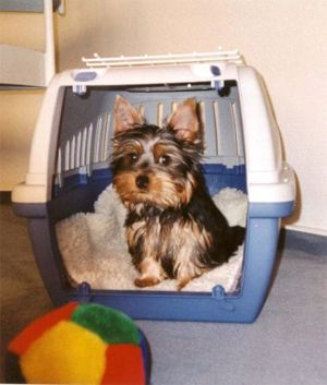 Yorkie Training – Housebreaking your Yorkshire Terrier